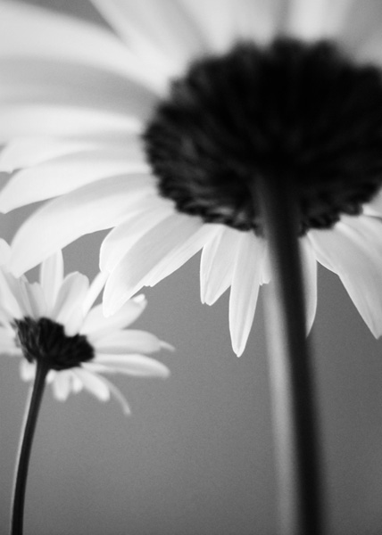 Two Daisies (photograph copyright 2011 Arthur Marshall)