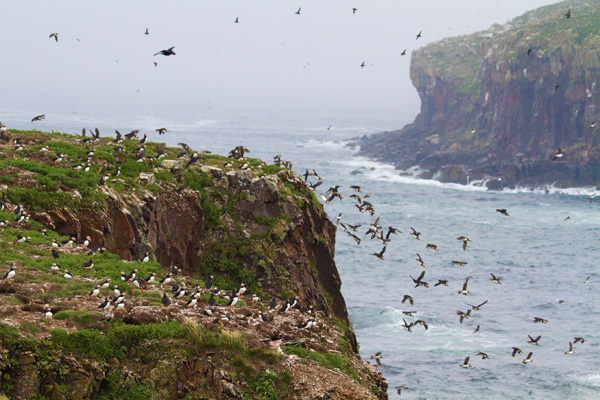 Whole Lot of Puffins (photo copyright 2015 Arthur D. Marshall)