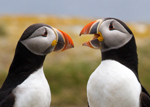 Puffin Talk (photo copyright 2015 Arthur Marshall)