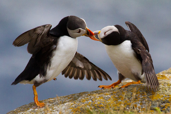 Puffin Do (photograph copyright 2015 Arthur D. Marshall)